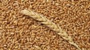 Пшеница,  закупаем Краснодарский край