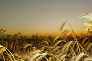 Семена озимой пшеницы Степь,  Таня,  Тимирязевка-150,  Юбилейная 100 и др.