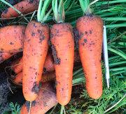 Морковь сорта