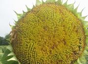 Семена подсолнечника сорта,  гибриды